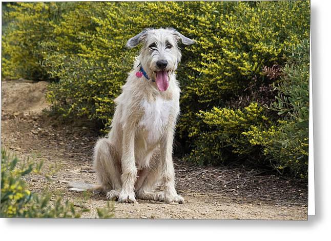 An Irish Wolfhound Puppy Sitting Greeting Card