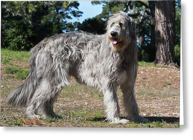 An Irish Wolfhound Standing In A Field Greeting Card