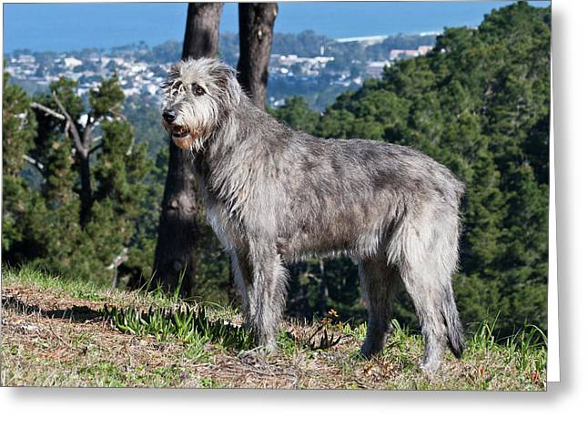 An Irish Wolfhound Standing On A Hill Greeting Card