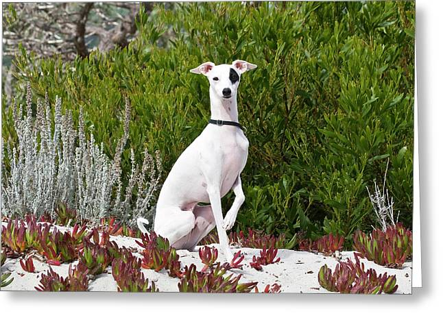 An Italian Greyhound Sitting Greeting Card by Zandria Muench Beraldo