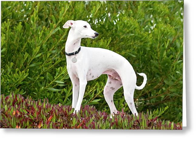 An Italian Greyhound Standing In Ice Greeting Card by Zandria Muench Beraldo