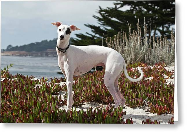 An Italian Greyhound Standing Greeting Card by Zandria Muench Beraldo