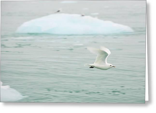 An Ivory Gull (pagophila Eburnea) Greeting Card by Ashley Cooper