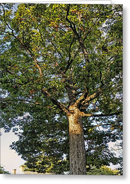 An Oak Tree In Colonial Williamsburg Greeting Card