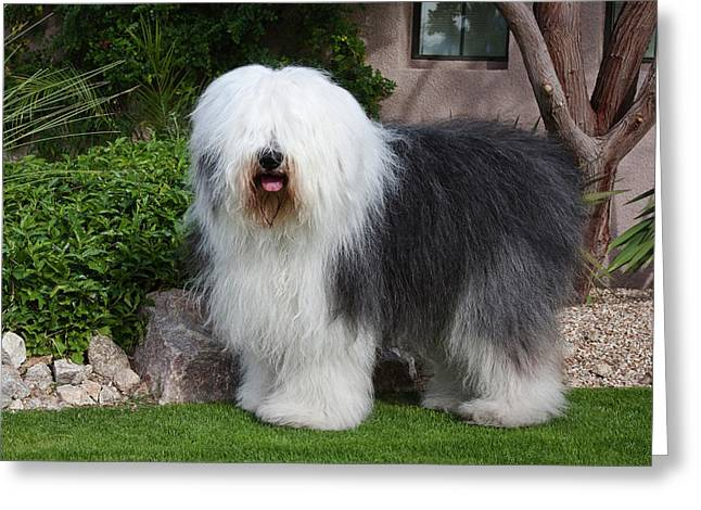 An Old English Sheepdog Standing Greeting Card