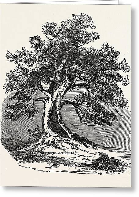 An Old Oak, In Its Decayed State Greeting Card by English School
