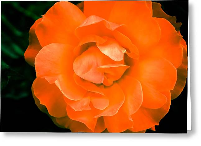 An Orange Rose Greeting Card by Ronda Broatch