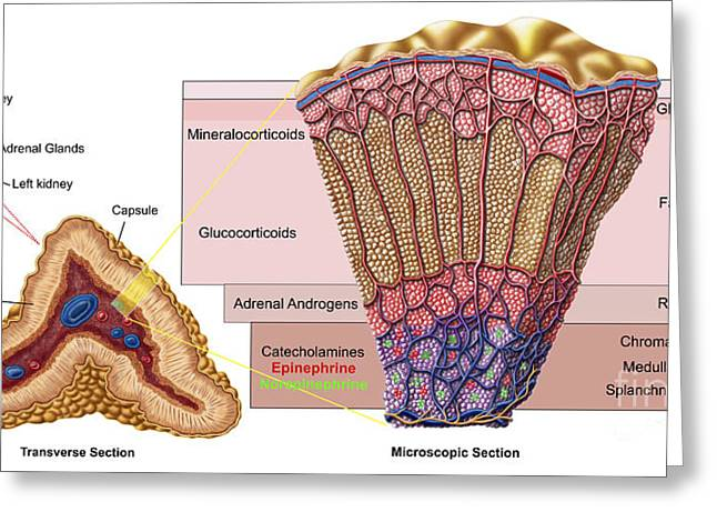 Anatomy Of Adrenal Gland, Cross Section Greeting Card by Stocktrek Images