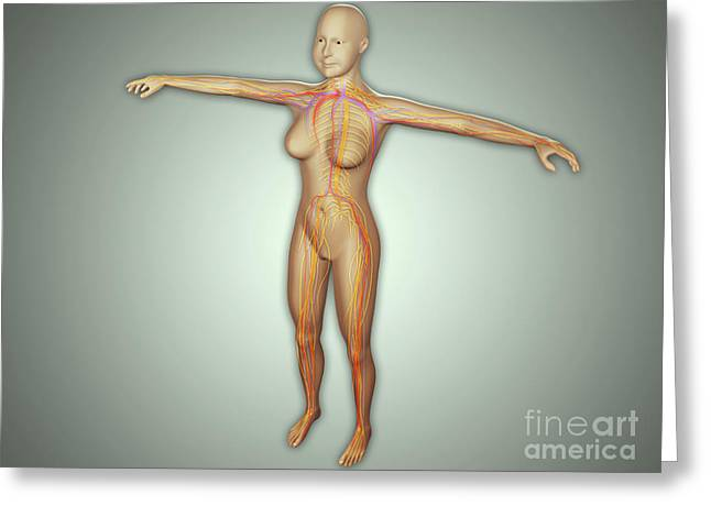 Anatomy Of Female Body With Arteries Greeting Card
