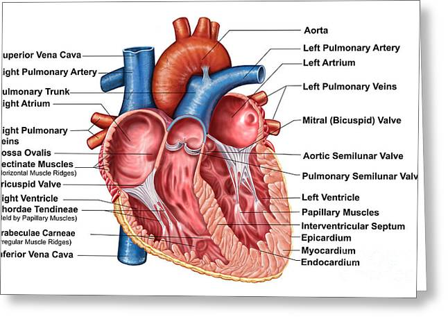Anatomy Of Heart Interior, Frontal Greeting Card