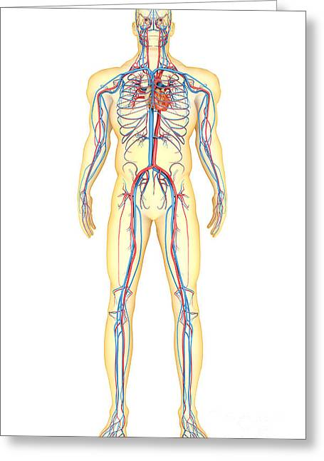 Anatomy Of Human Body And Circulatory Greeting Card