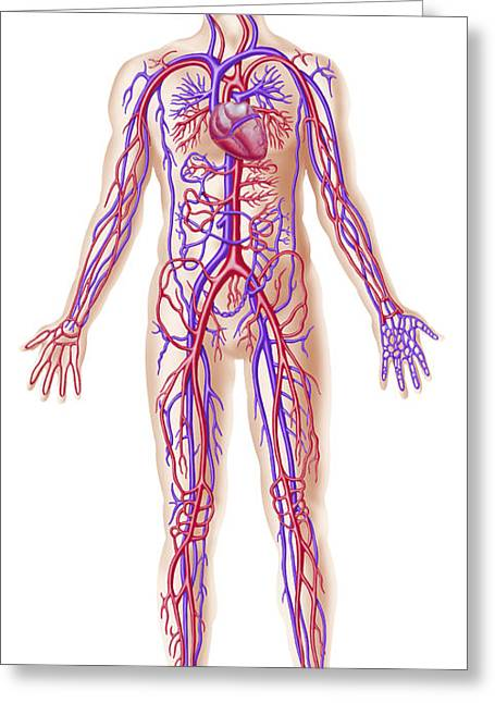 Anatomy Of Human Circulatory System Greeting Card by Leonello Calvetti