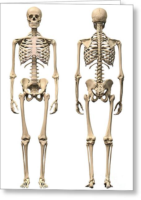 Anatomy Of Male Human Skeleton, Front Greeting Card by Leonello Calvetti