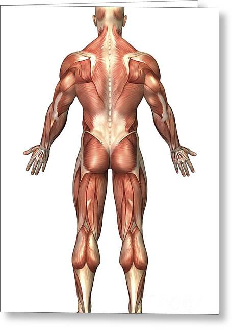 Anatomy Of Male Muscular System, Back Greeting Card by Stocktrek Images