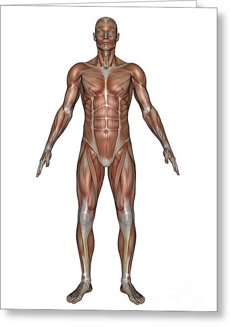 Anatomy Of Male Muscular System, Front Greeting Card by Elena Duvernay