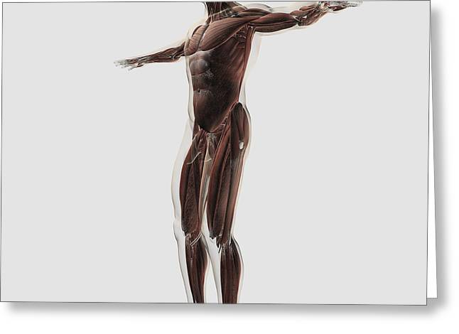 Anatomy Of Male Muscular System, Side Greeting Card by Stocktrek Images