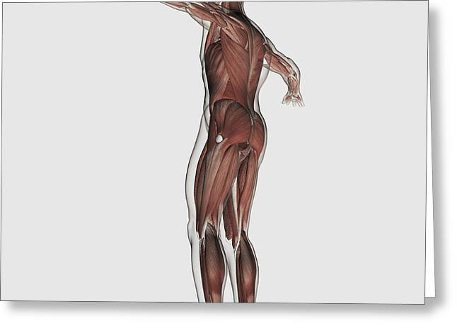 Anatomy Of Male Muscular System Greeting Card by Stocktrek Images