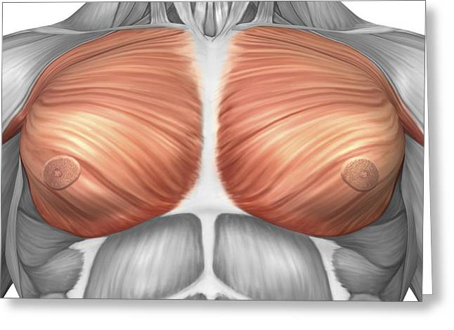 Anatomy Of Male Pectoral Muscles Greeting Card by Stocktrek Images