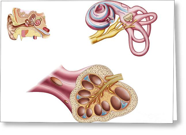 Anatomy Of The Cochlear Duct Greeting Card by Stocktrek Images