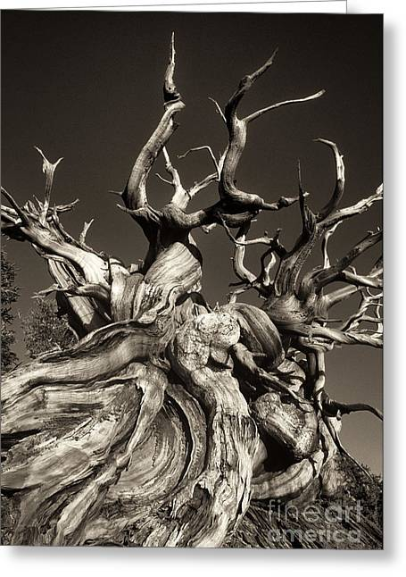 Ancient Bristlecone Pine In Black And White Greeting Card