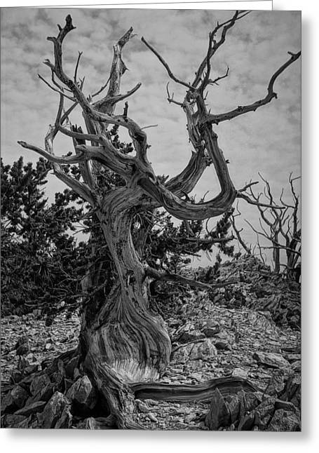 Ancient Bristlecone Pine Greeting Card