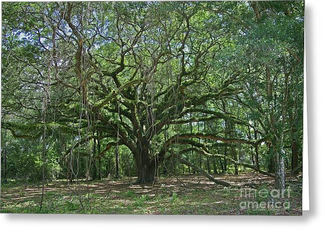 Ancient Oak Cathedral Of Moss And Fern Greeting Card