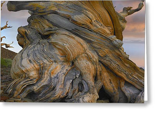 Ancient Twisted Foxtail Pine Trunk Greeting Card by Tim Fitzharris