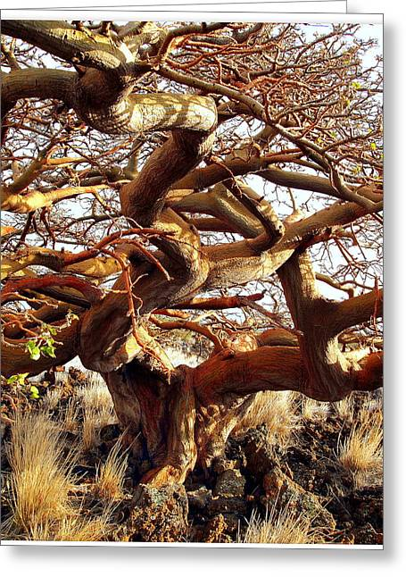 Ancient Wiliwili Tree Greeting Card by Stephen Green