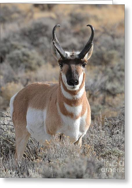 ...and The Antelope Play Greeting Card