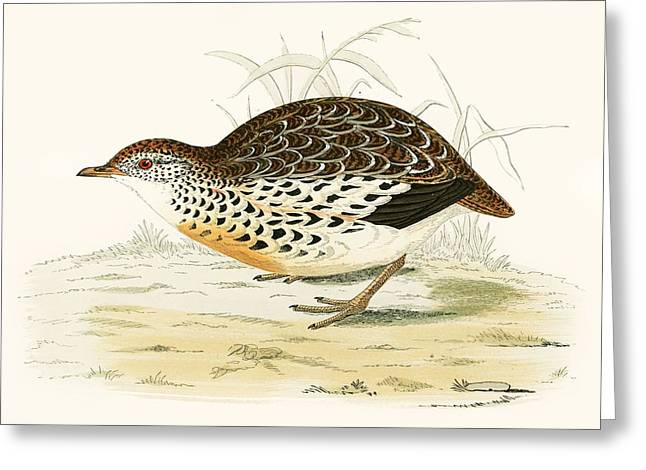 Andalusian Quail Greeting Card by Beverley R Morris