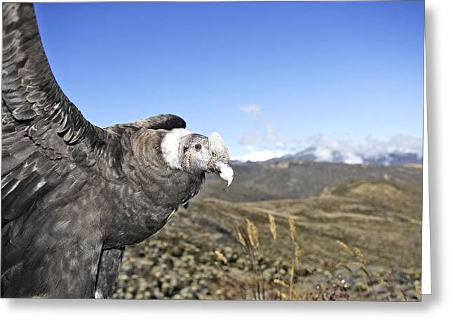 Andean Condor Greeting Card