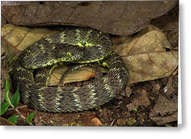 Andean Forest-pitviper(bothriopsis Greeting Card by Pete Oxford
