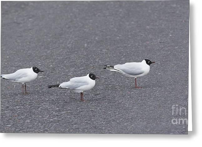 Andean Gulls Greeting Card