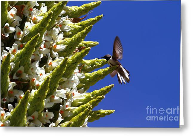 Andean Hillstar Hummingbird Feeding On Puya Raimondii Flowers Greeting Card