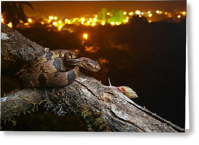 Andean Snail-eater Female And Land Greeting Card