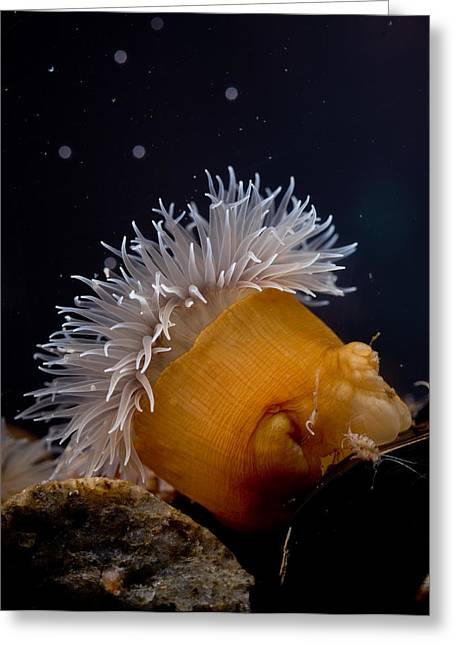 Anemone Greeting Card by Brian Magnier