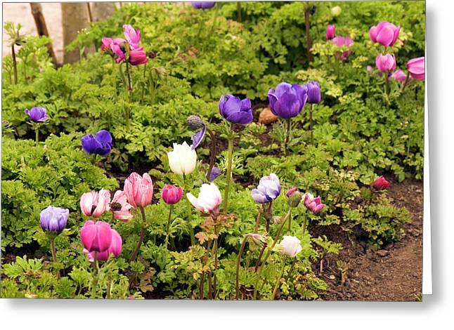 Anemone Coronaria Flowers Greeting Card
