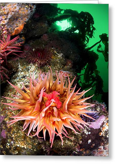 Anemone Feeding Greeting Card by Joe Belanger