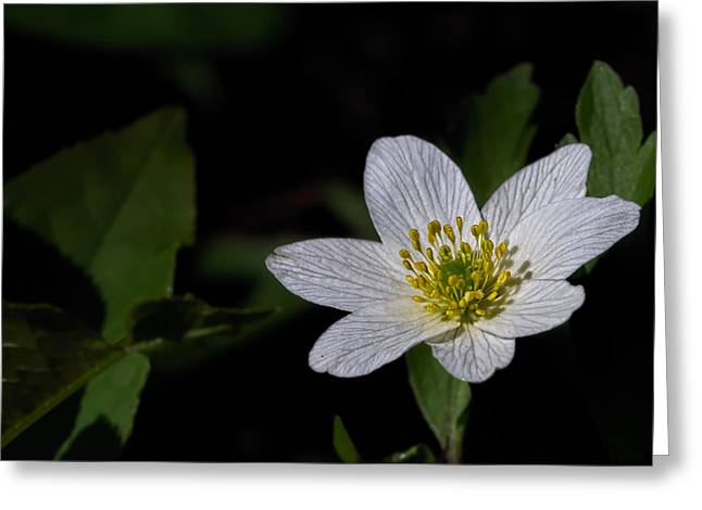 Anemone Nemorosa  By Leif Sohlman Greeting Card