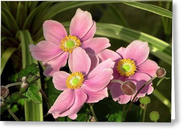 Anemone X Hybrida 'serenade' Greeting Card by Adrian Thomas