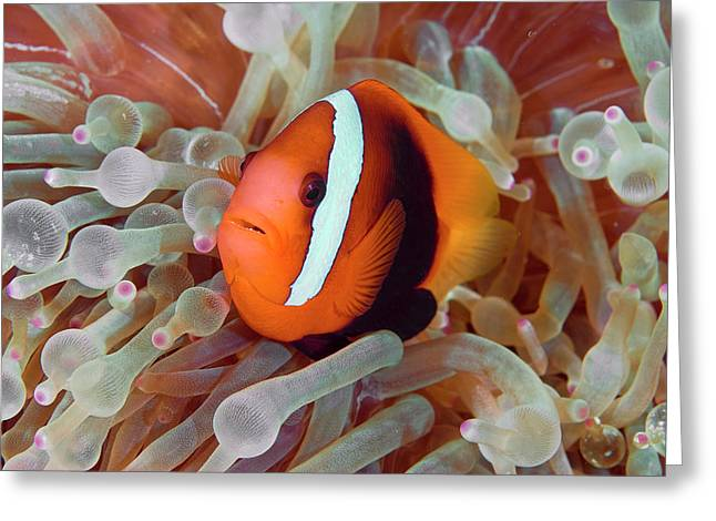 Anemonefish Among Poisonous Tentacles Greeting Card by Jaynes Gallery