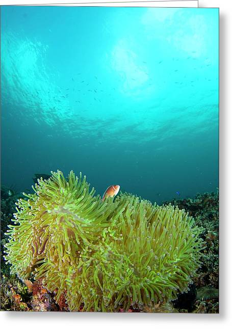 Anemonefish In Clear Calm Water Greeting Card by Scubazoo
