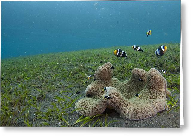 Anemonefish In Seagrass In Indonesia Greeting Card by Science Photo Library