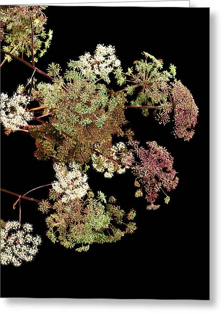 Angelica Archangelica Flowers Greeting Card by Gilles Mermet