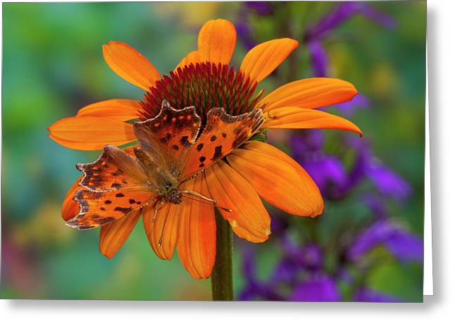 Angle Wing Butterfly On Cone Flower Greeting Card