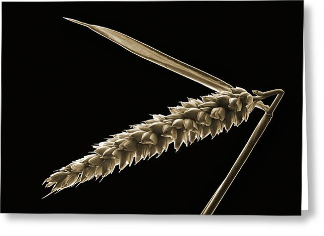 Angled Wheat Greeting Card by Terence Davis