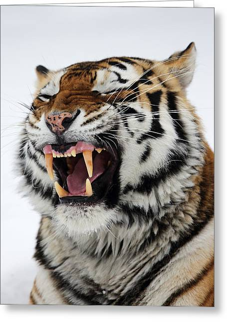 Angry Siberian Tiger Portrait Greeting Card by Alex Sukonkin