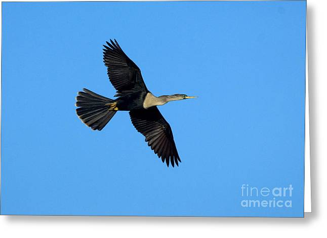 Anhinga Female Flying Greeting Card by Anthony Mercieca