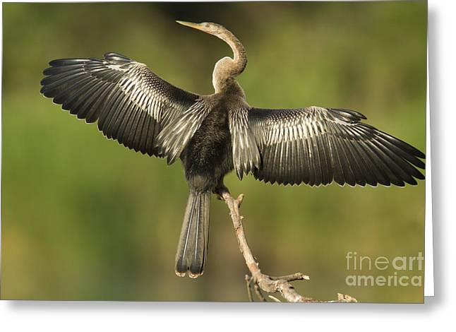 Anhinga Posing Greeting Card by Kelly Morvant