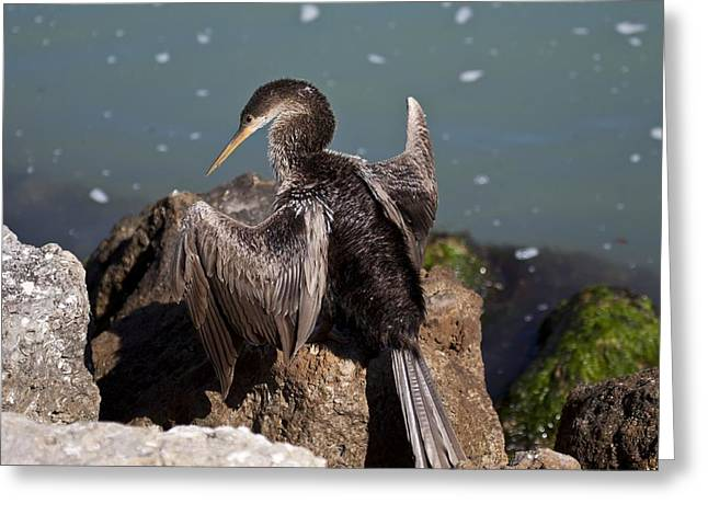Anhinga Greeting Card by Regina  Williams